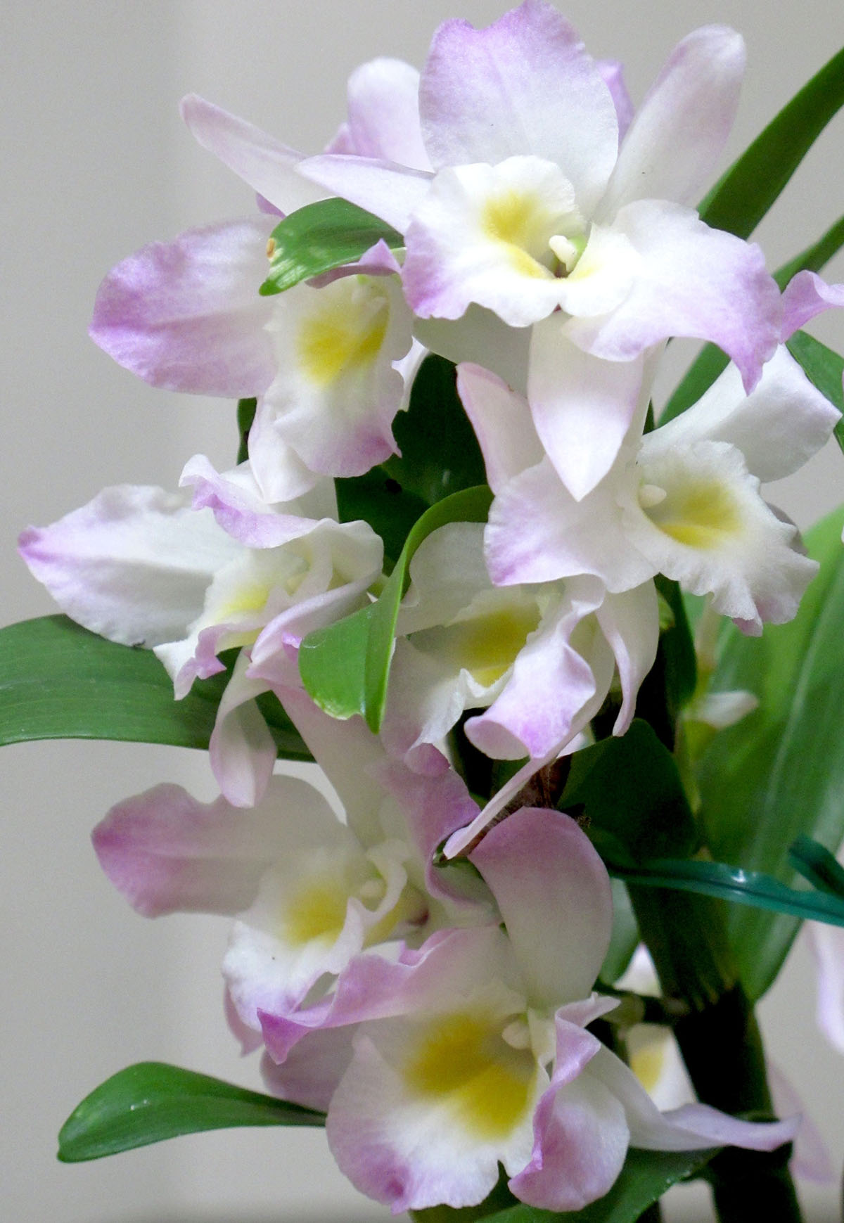 Dendrobium Fancy Angel Lycee 1