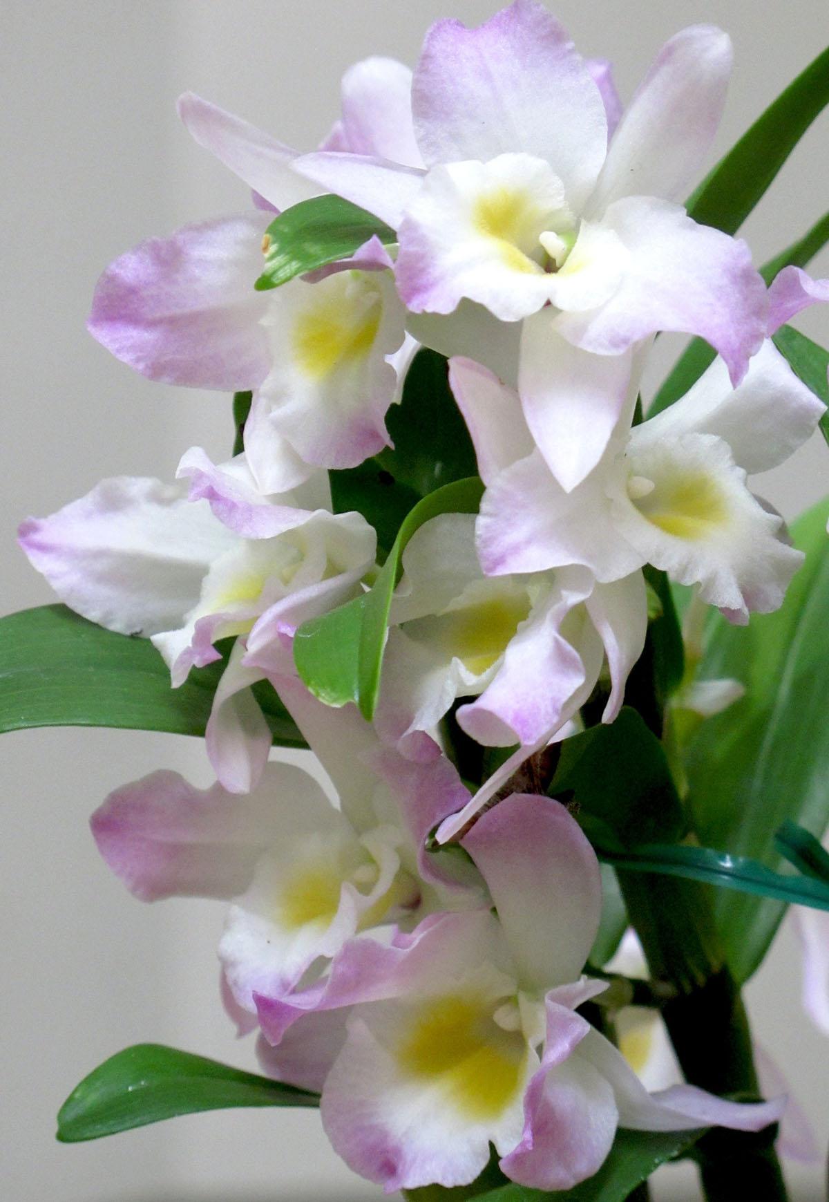Dendrobium Fancy Angel Lycee 1