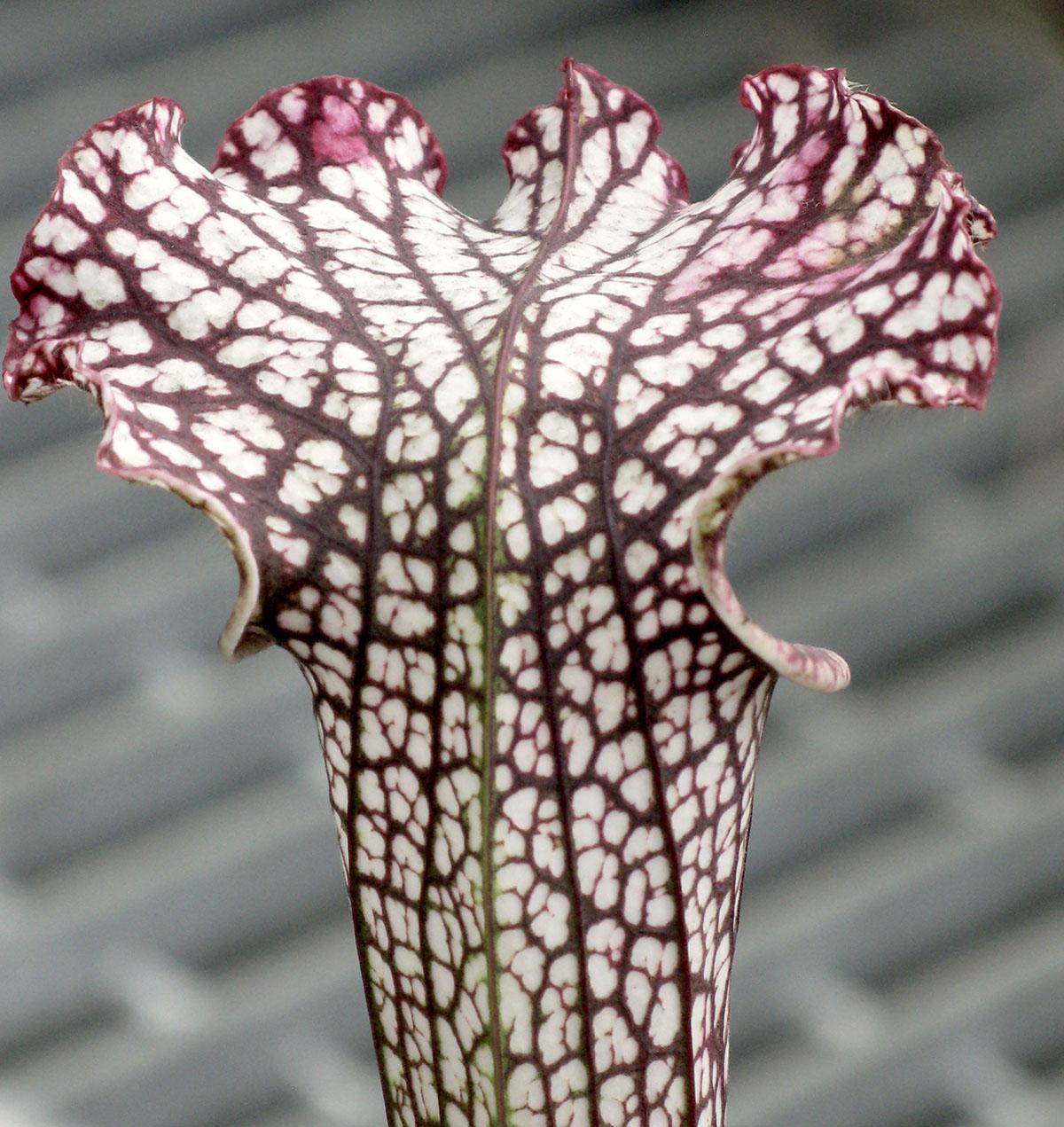 Sarracenia leucophylla 9