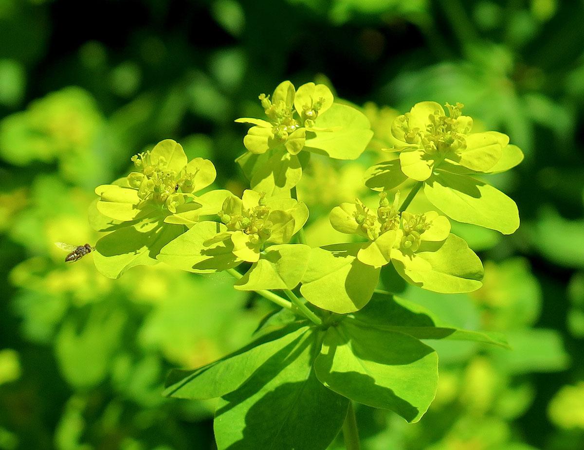 Euphorbia brittingeri 11