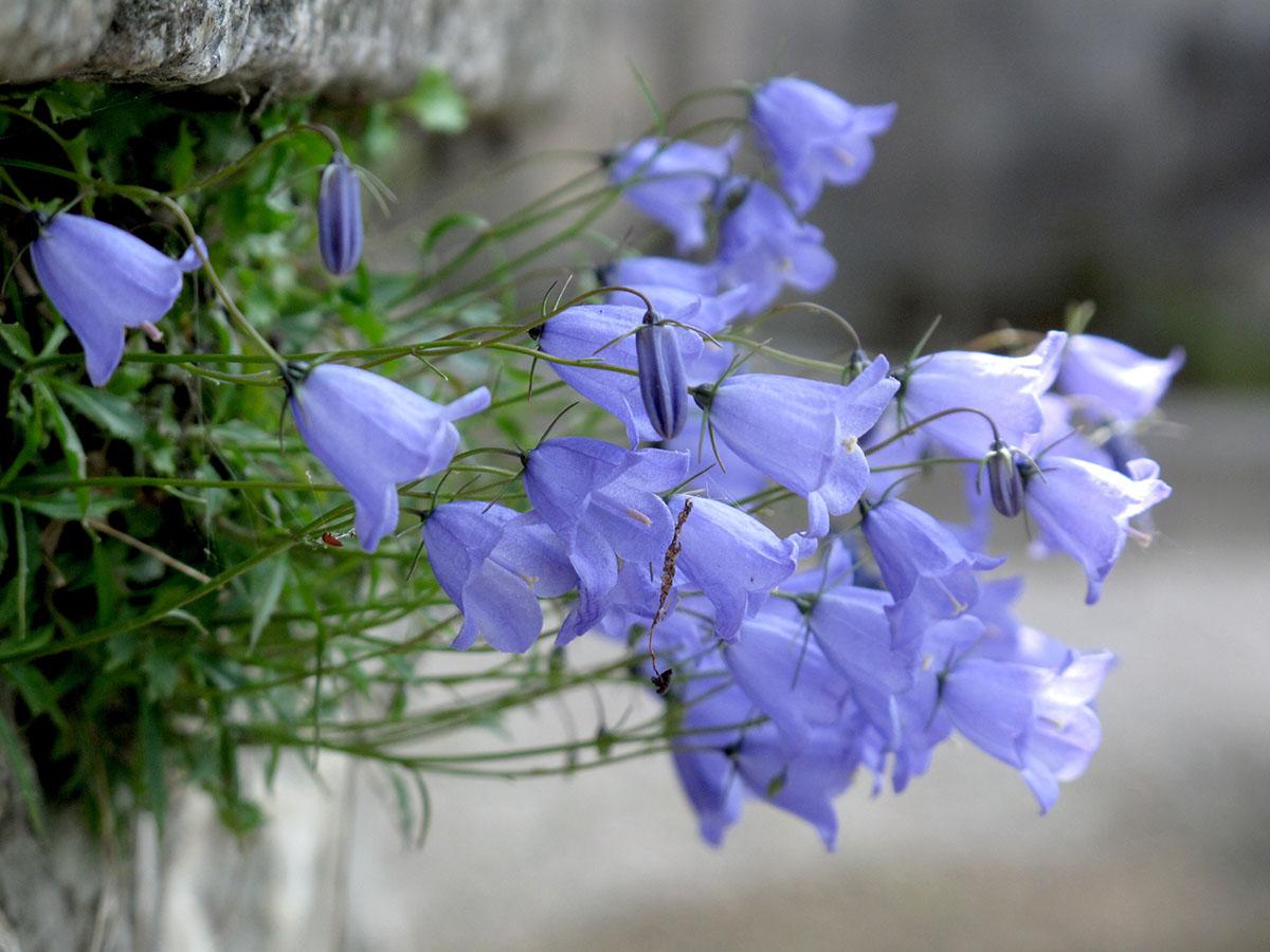 Campanula rotundiolia 4