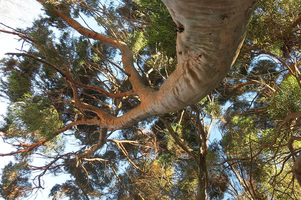 Eucalyptus salubris 36