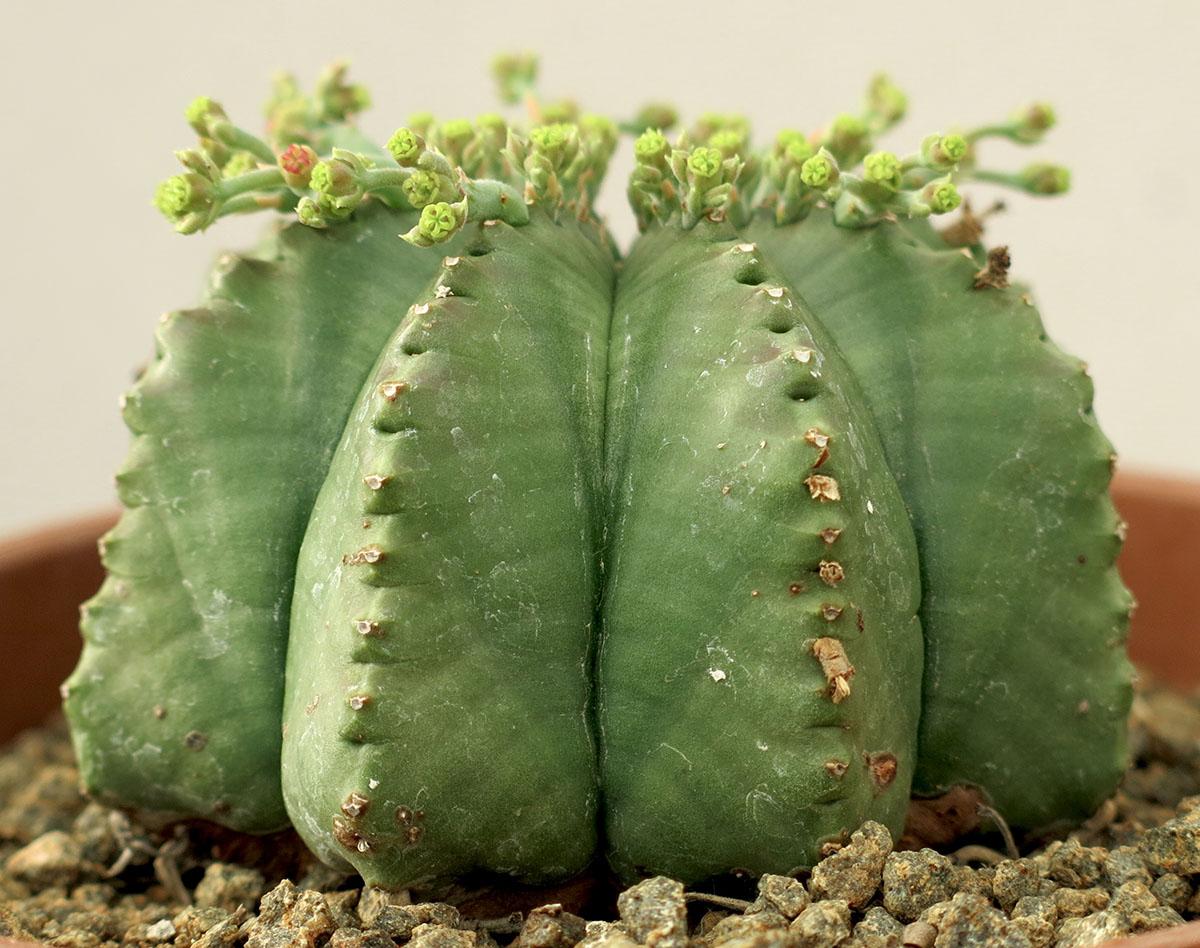 Euphorbia meloformis 5