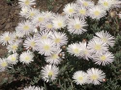 Lampranthus multiseriatus 4