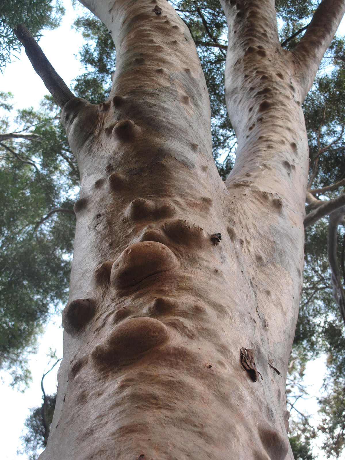 Eucalyptus sp Copper bark 15
