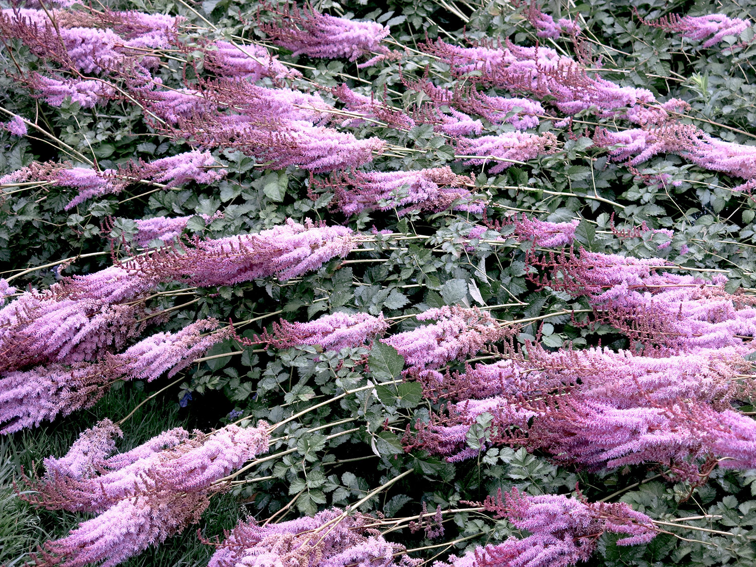 Astilbe-chinensis-taquetii-18-