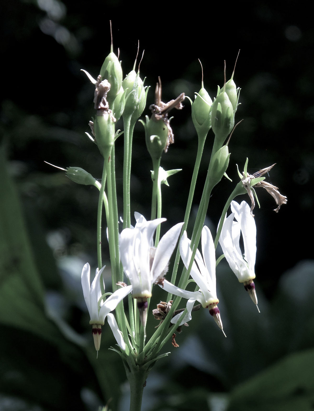 Dodecatheon media Alba 3