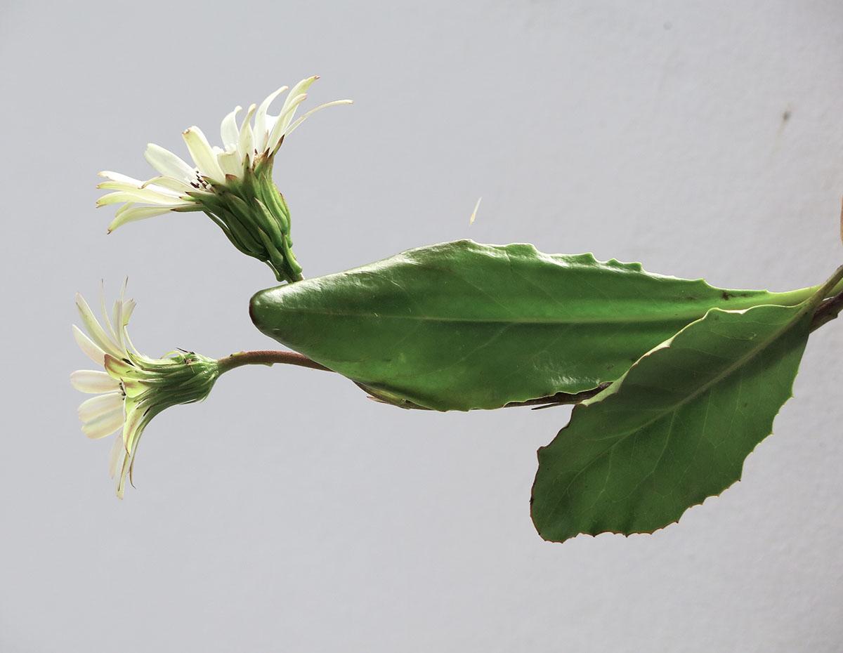 Gerbera crocea 9