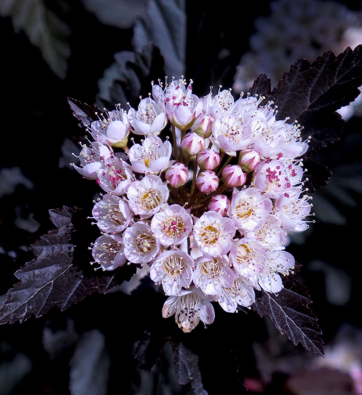 Physocarpus opulifolius Seward 27