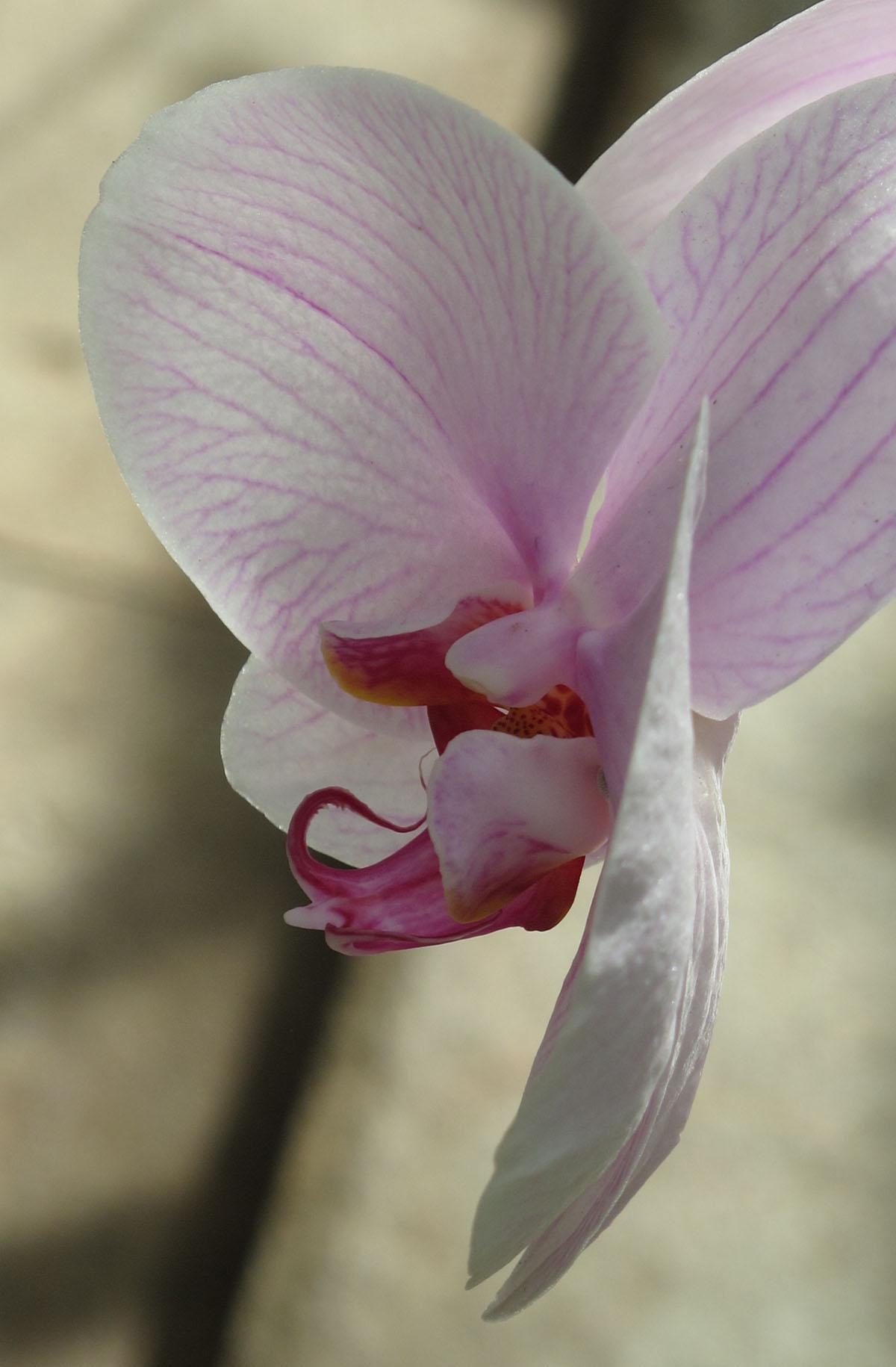 Phalaenopsis hybrid white 4