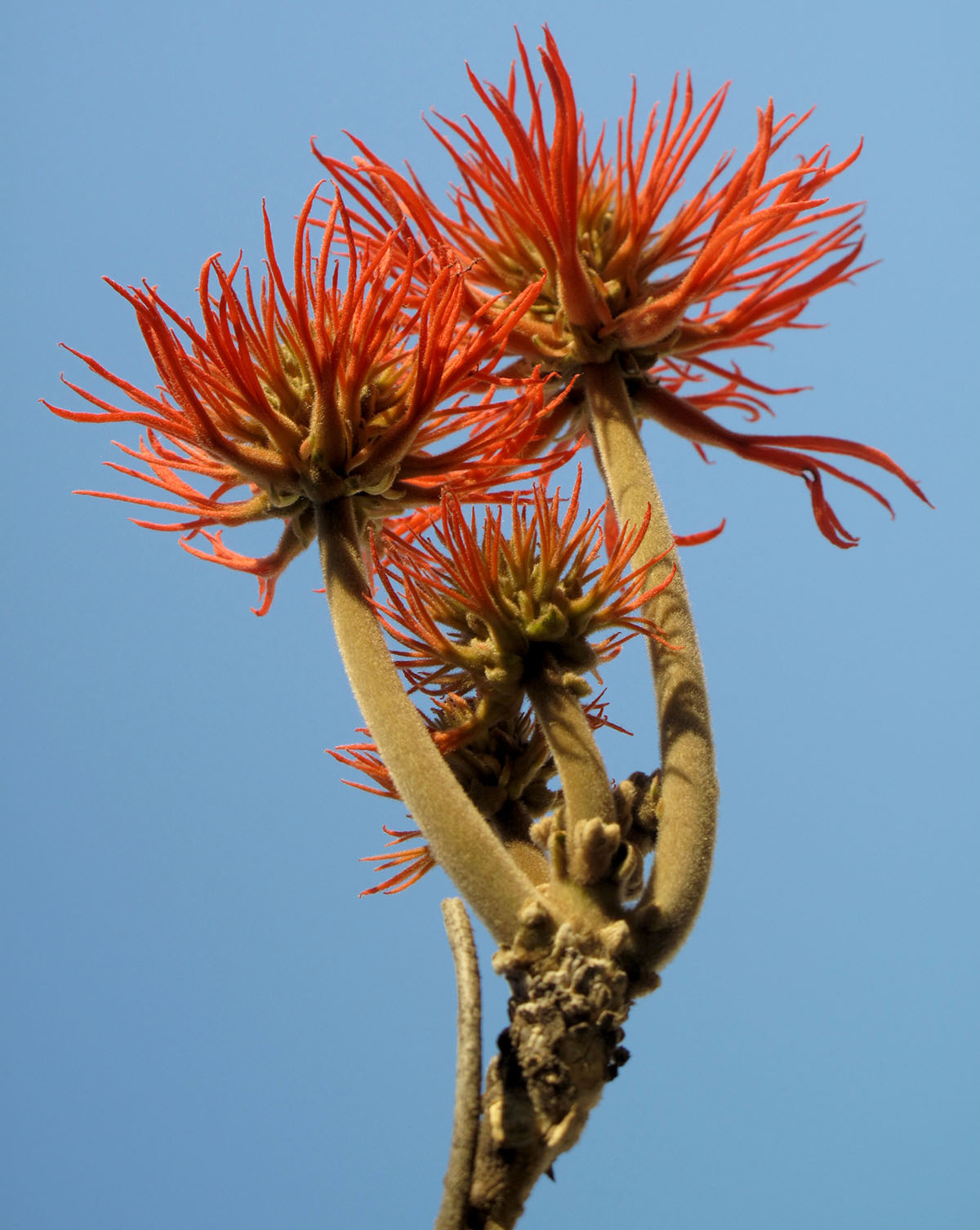 Erythrina abyssinica 54