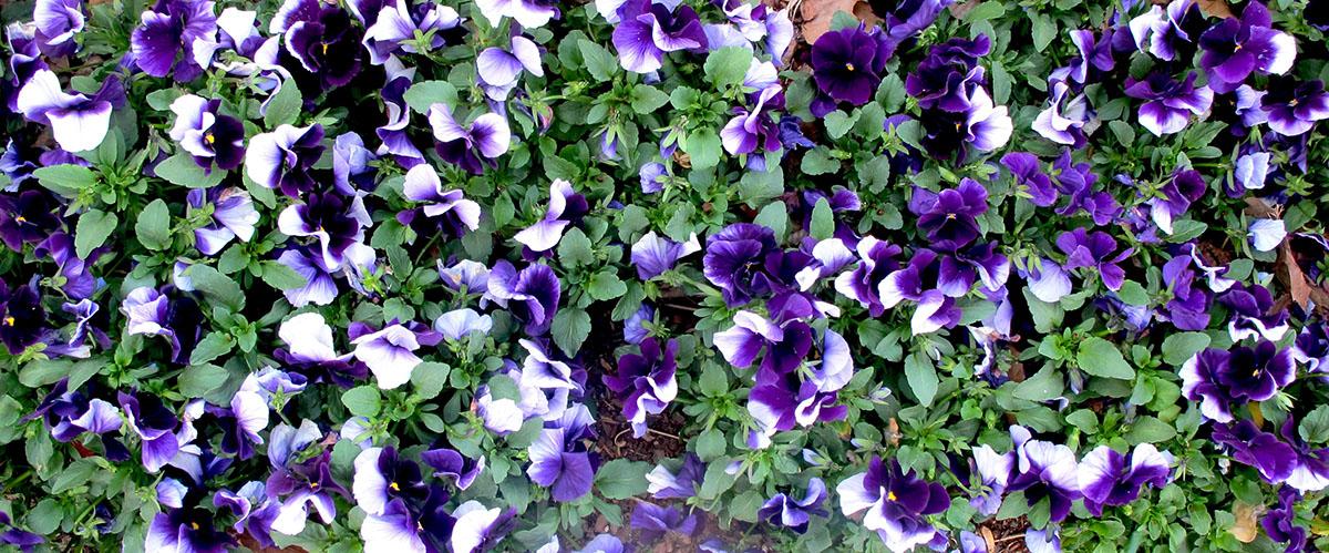 Viola X wittrockiana 22