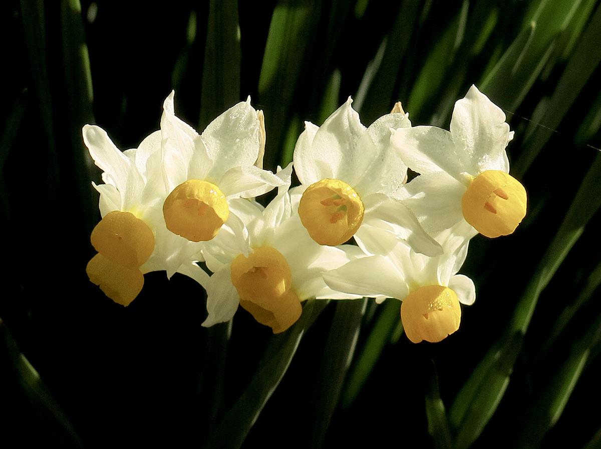 Narcissus canaliculatus 2