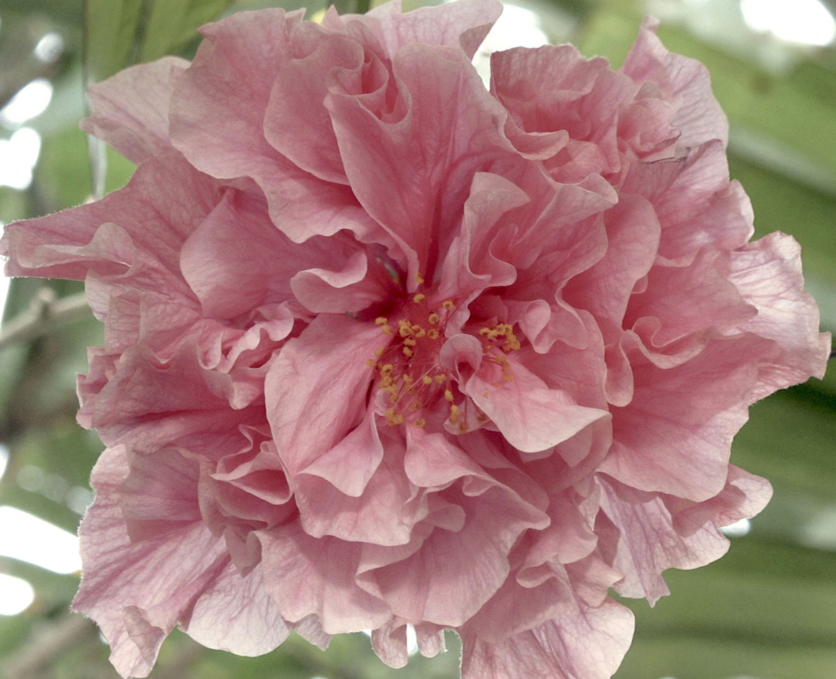 Hibiscus rosa-sinensis 94