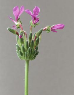 Pelargonium incrassatum 29