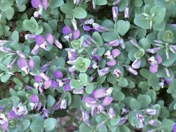 Polygala fruticosa 36