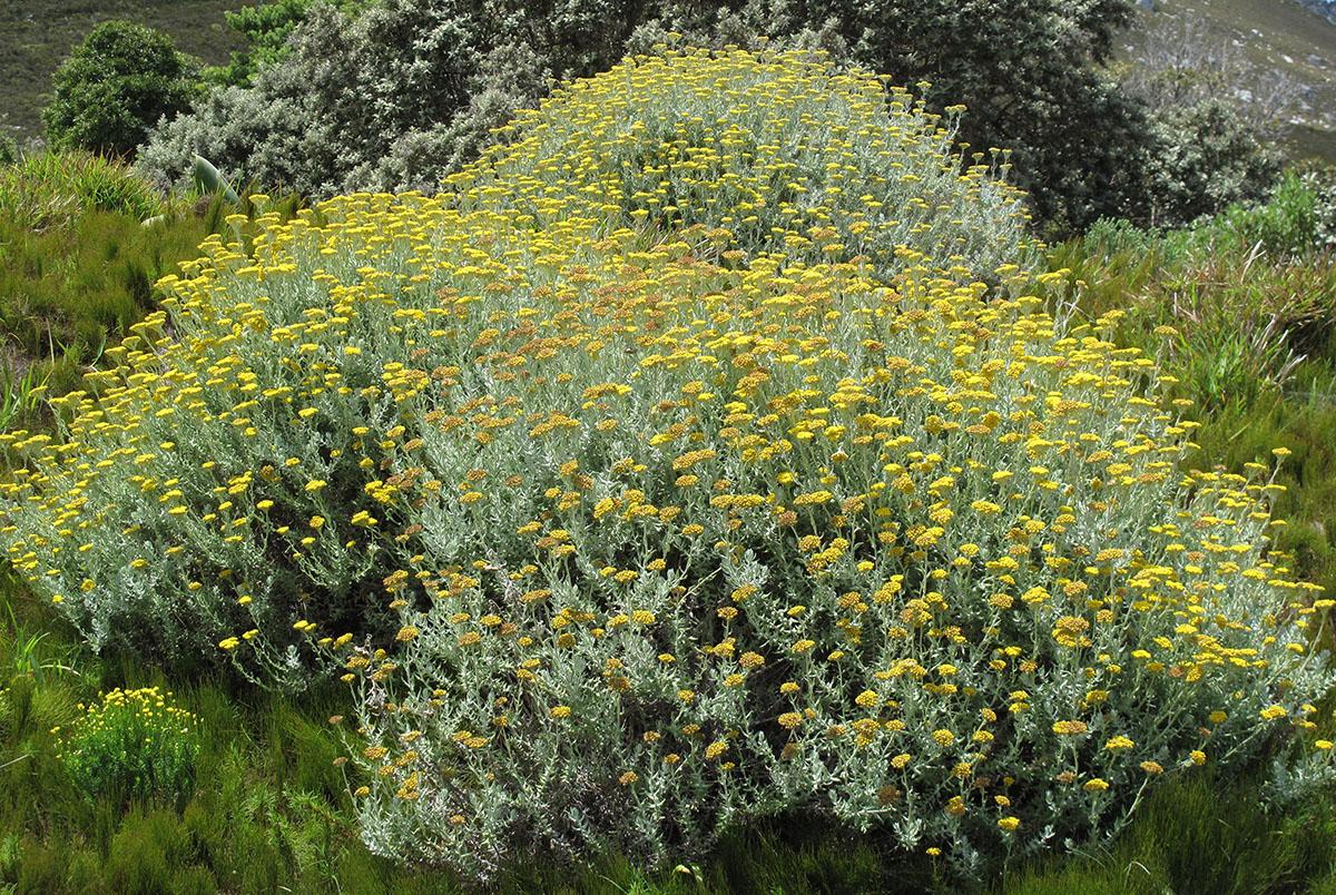 Helichrysum dasyanthum 4