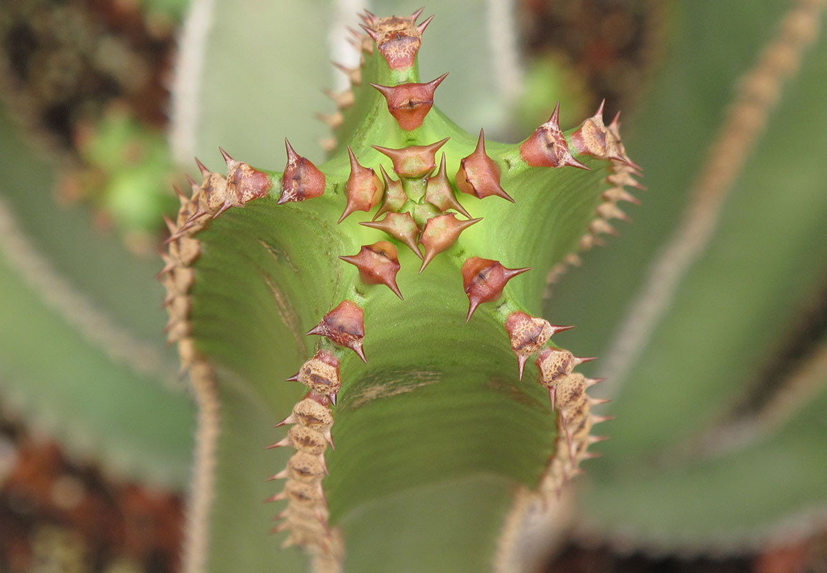 Euphorbia canariensis 1