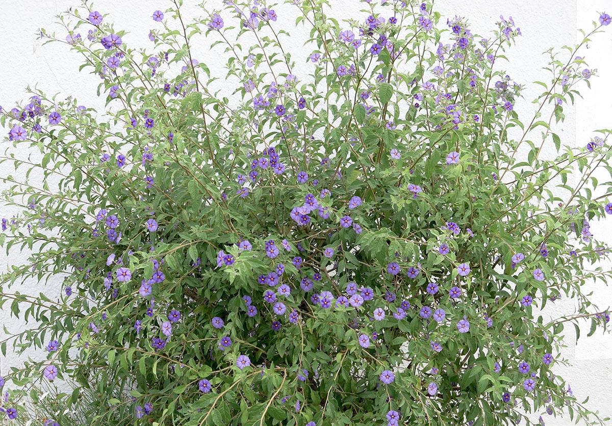 Solanum rantonetti 30