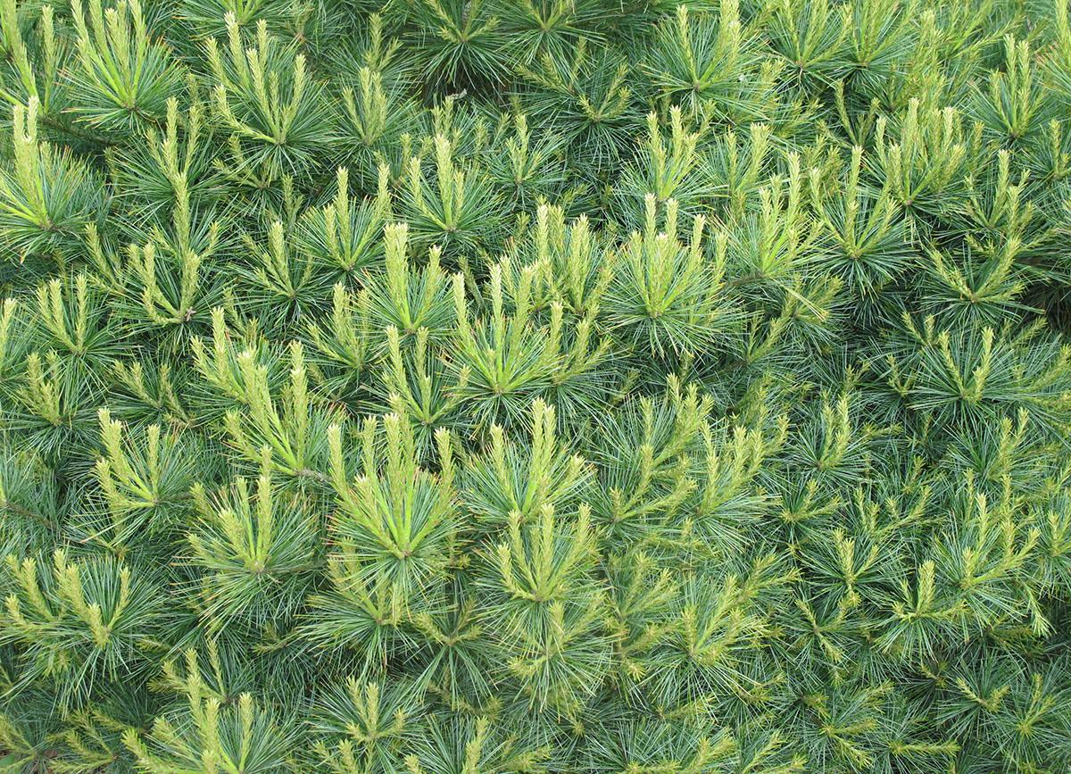 Pinus strobus Blue Shag 4