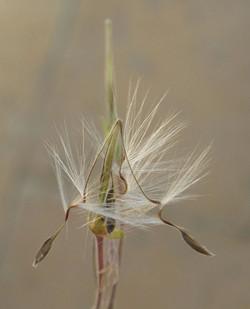 Pelargonium tongaense 17