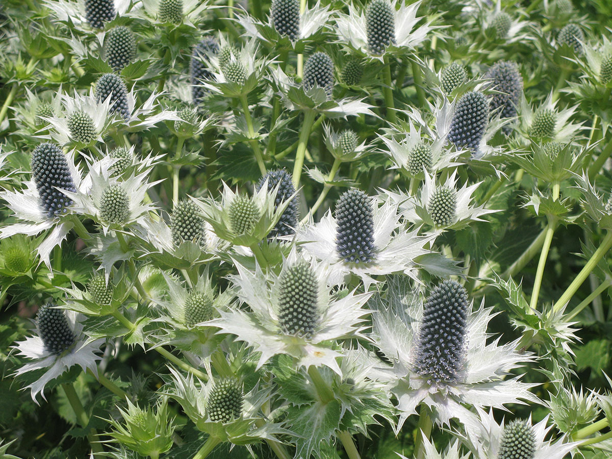 Eryngium giganteum 'Silver Ghost' 10