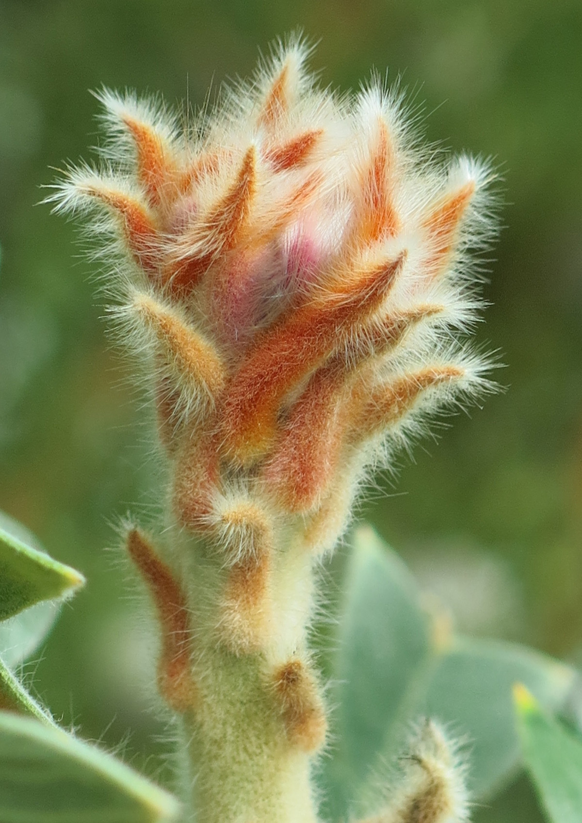 Banksia baxteri 3