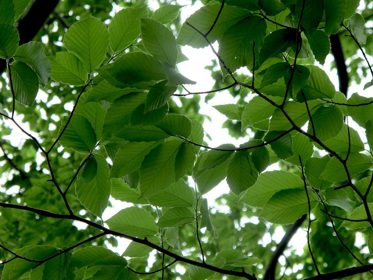 Fagus grandifolia 27