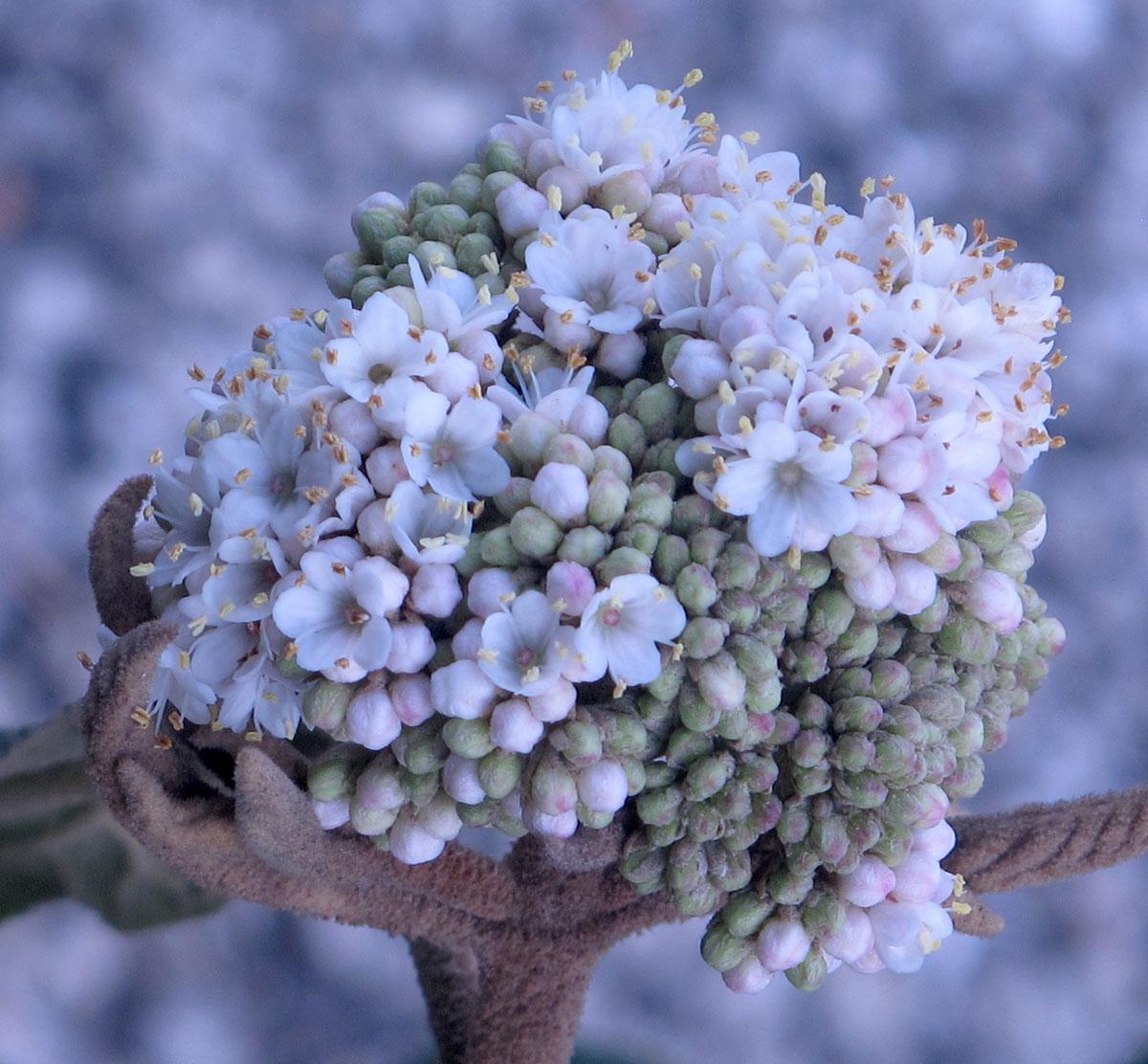 Viburnum rhytidophyllum Cree 7