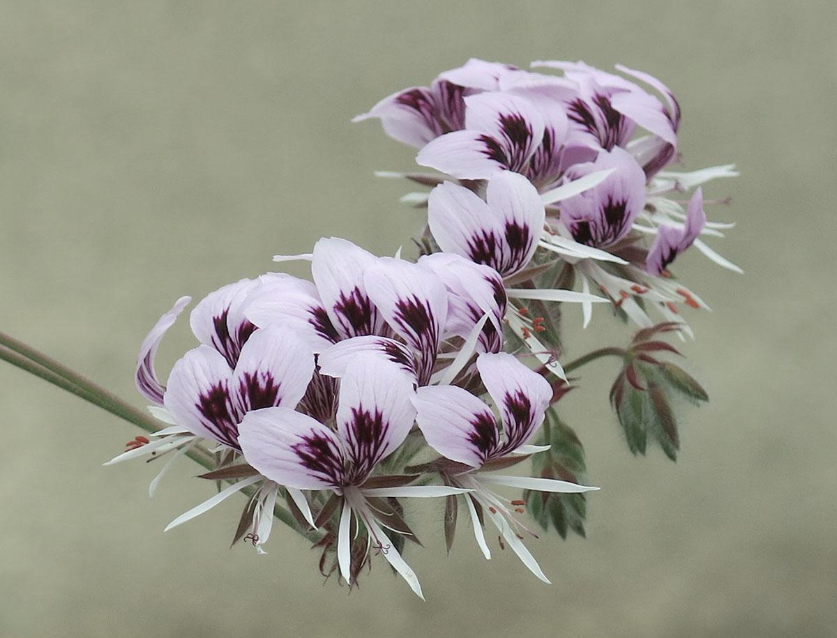 Pelargonium cordifolium 18