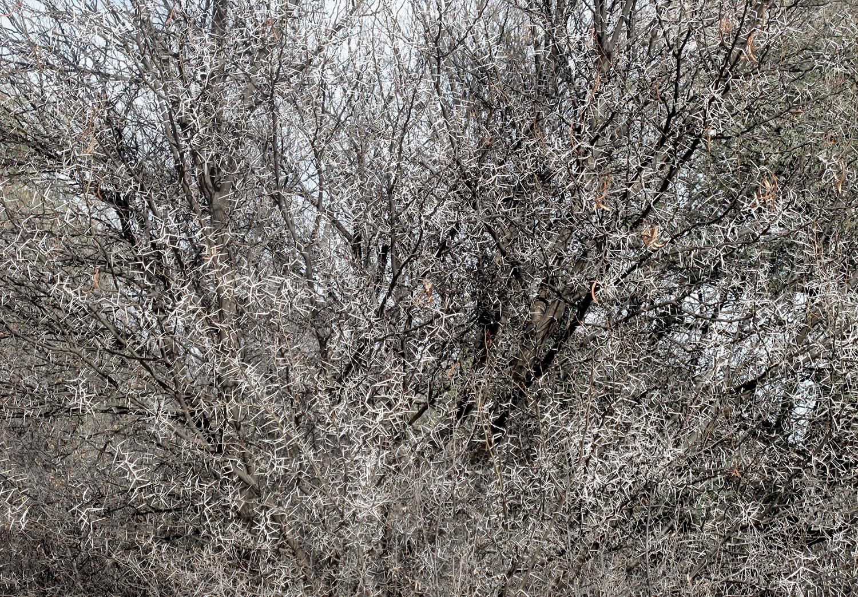 Acacia-karroo-122-