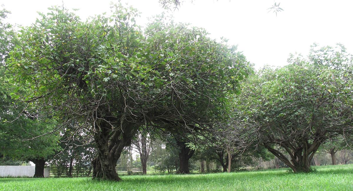 Ficus carica 17
