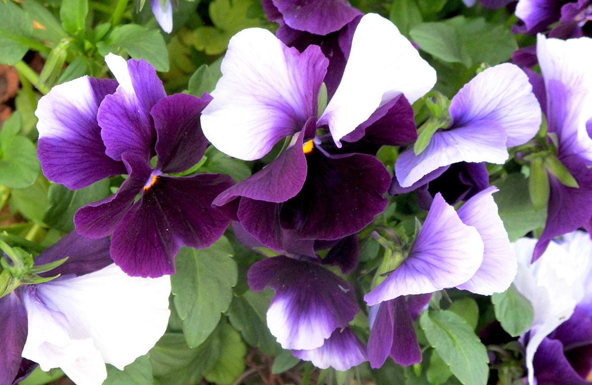 Viola X wittrockiana 25