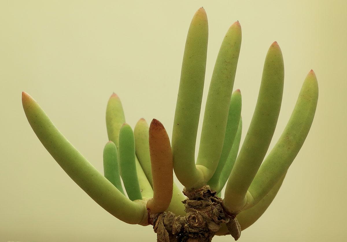 Cylindrophyllum dyeri 14