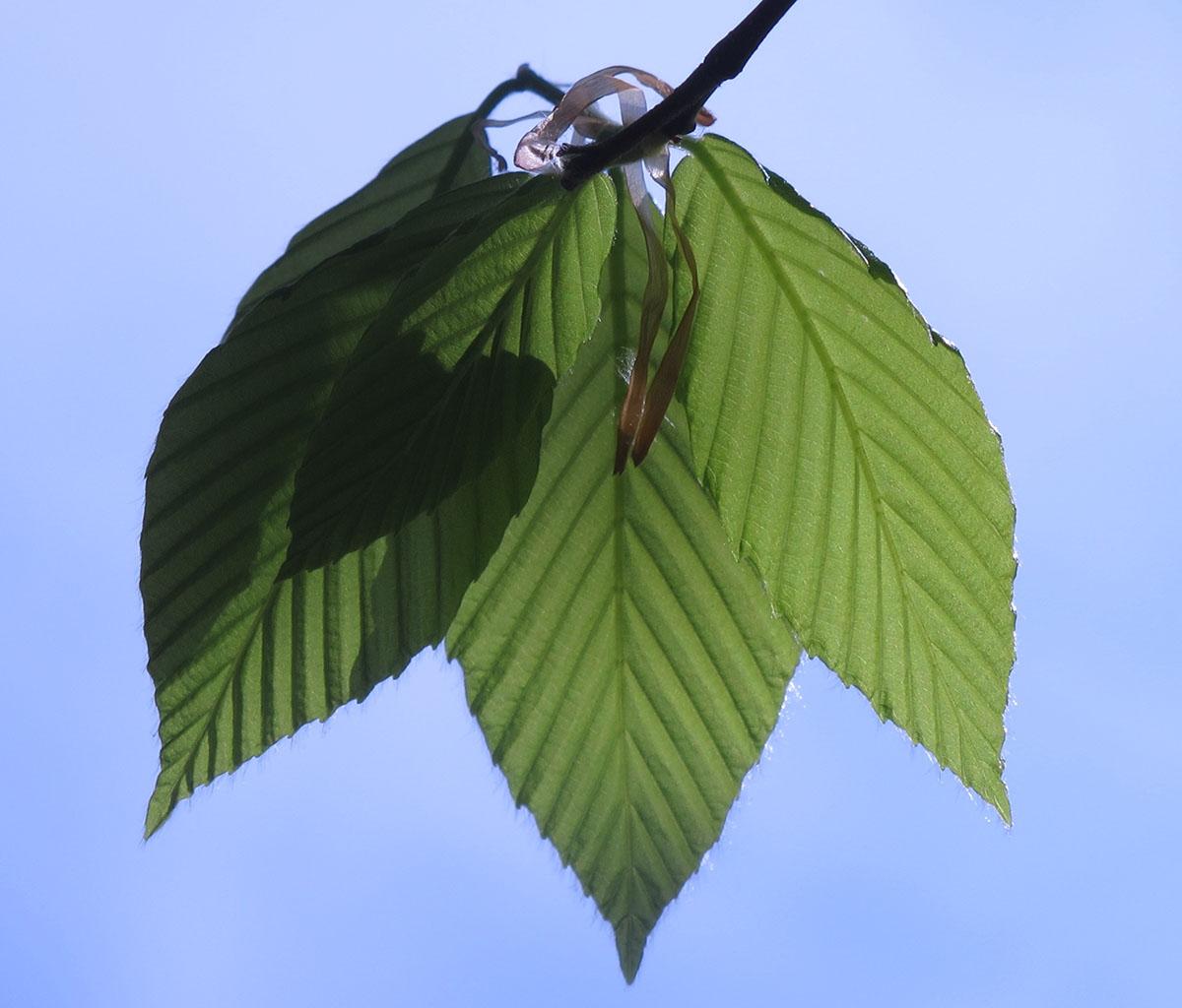 Fagus grandifolia 9