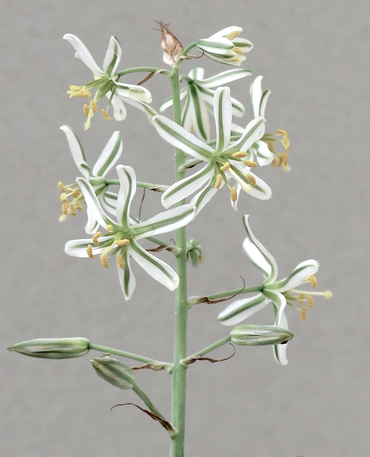 Ornithogalum polyphyllum 9