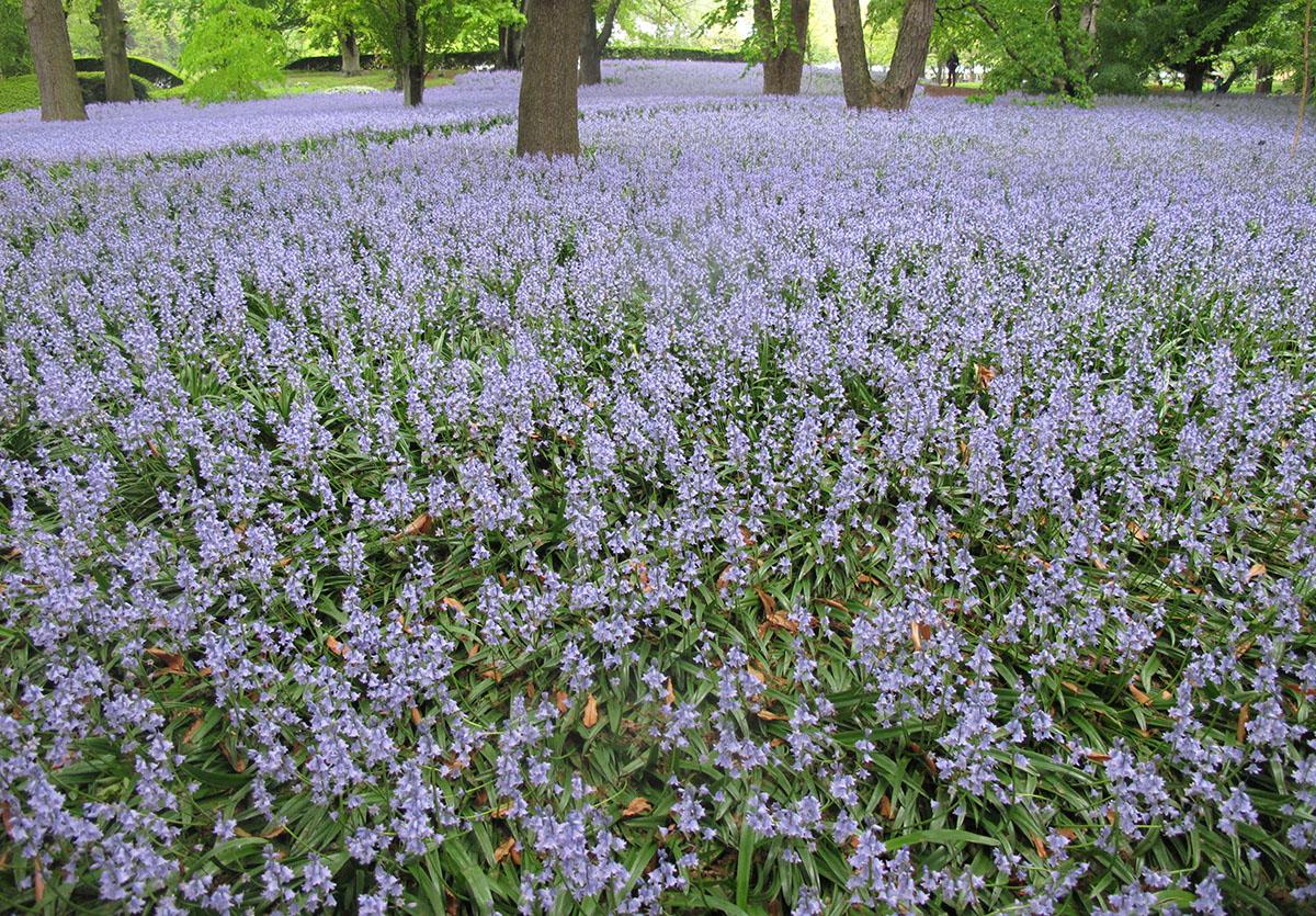 Hyacinthoides hispanica 24