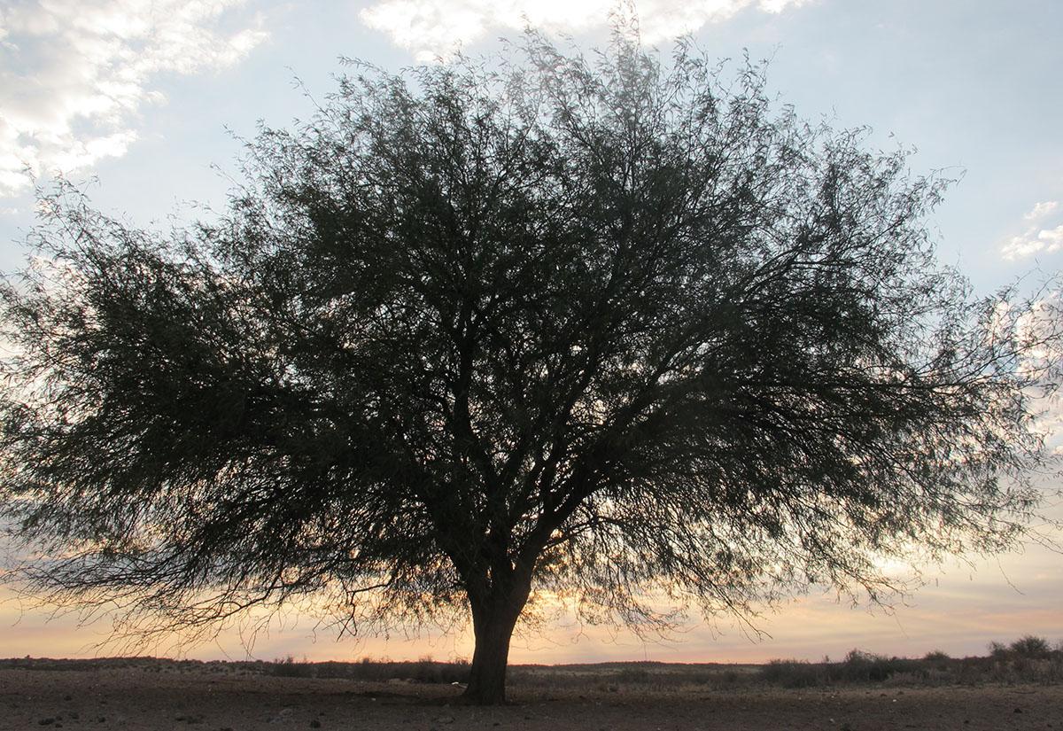 Prosopis glandulosa 38