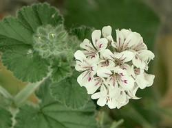Pelargonium australe 4