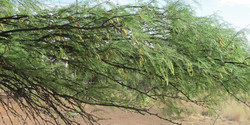 Prosopis glandulosa 13