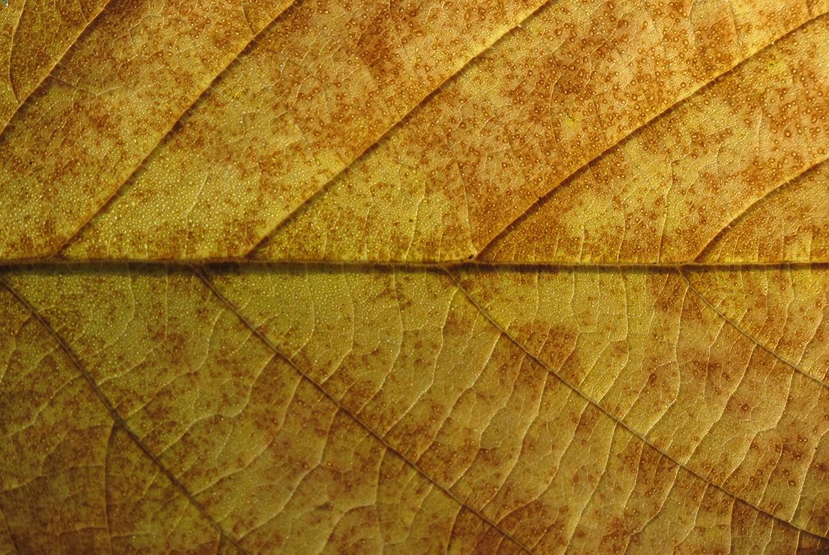 Betula alleghaniensis 10
