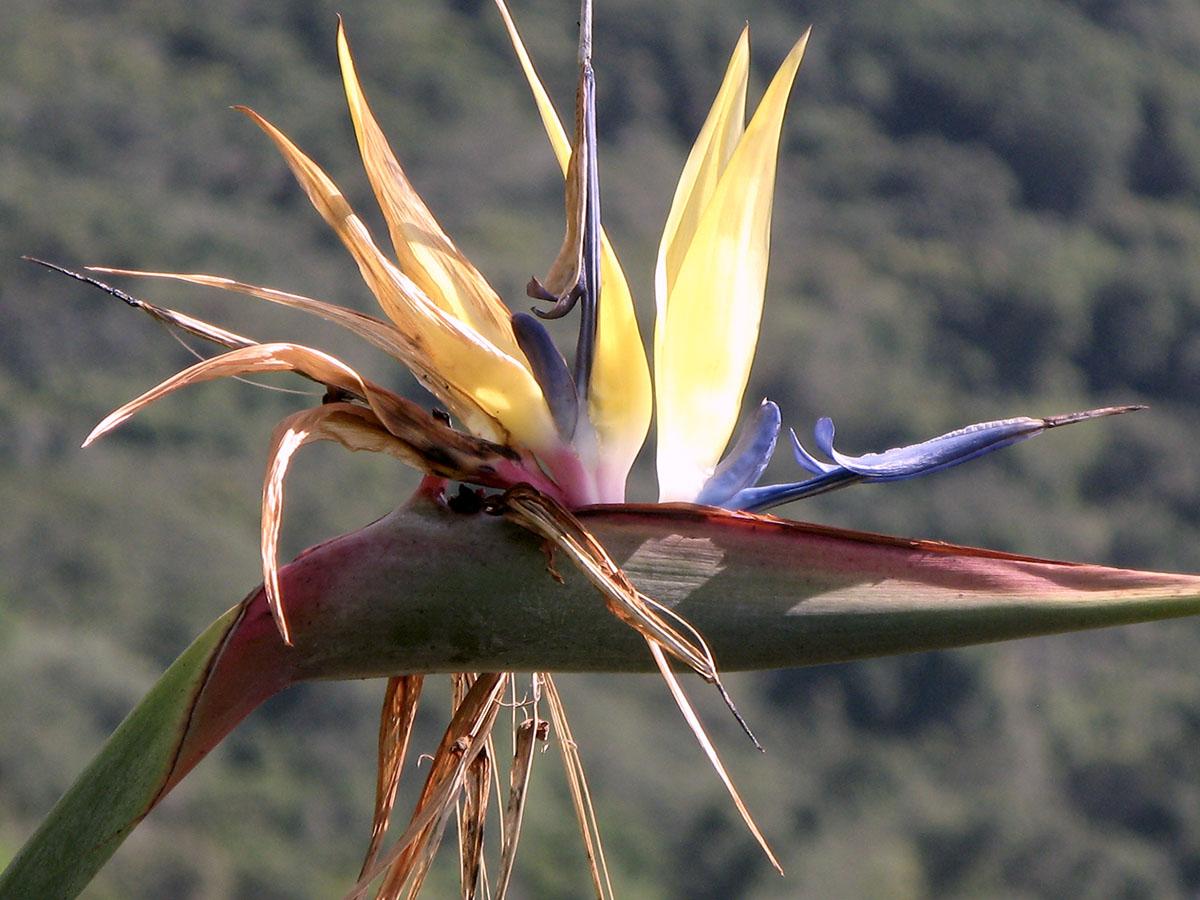 Strelitzia reginae 'Mandela's Gold' 10