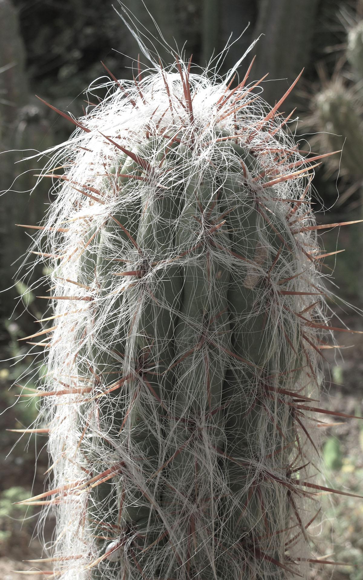 Oreocereus celsianus 1