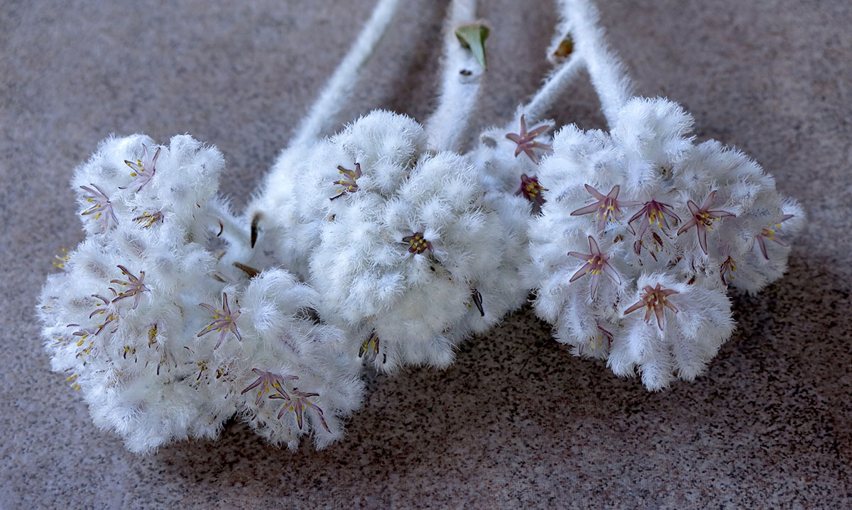 Lanaria lanata 20