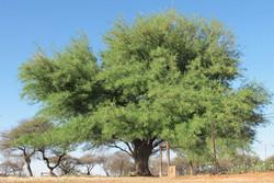 Prosopis glandulosa 2