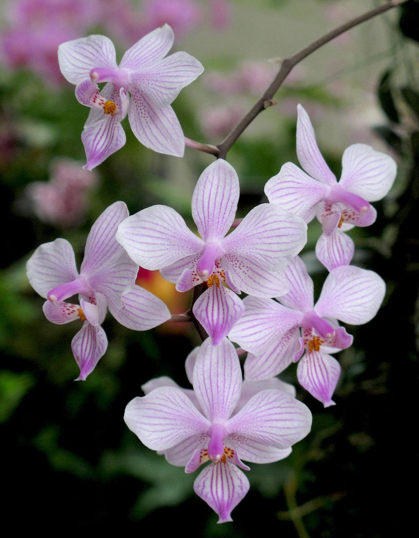 Rhalaenopsis lindenii 2