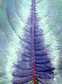 Polygonum microcephala Red Dragon 2