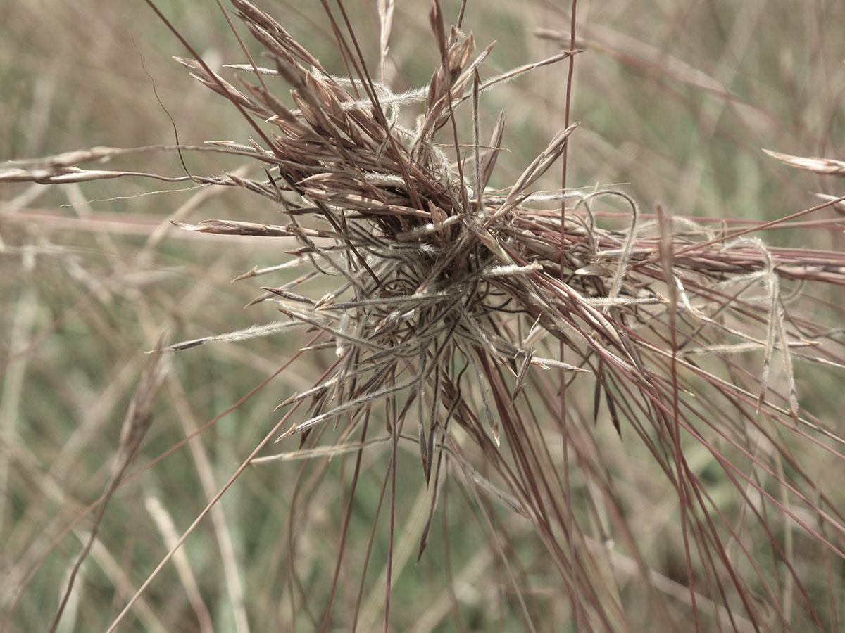 Heteropogon contortus 7