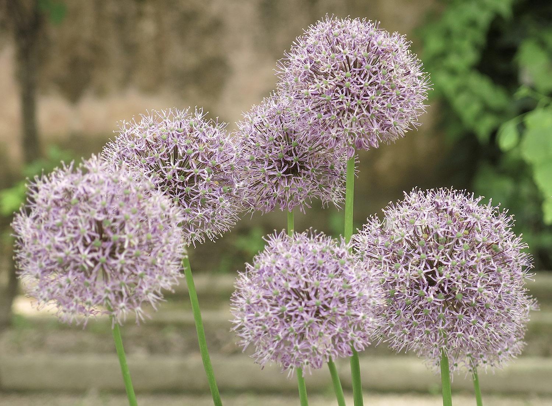 Allium-suworowii-5-
