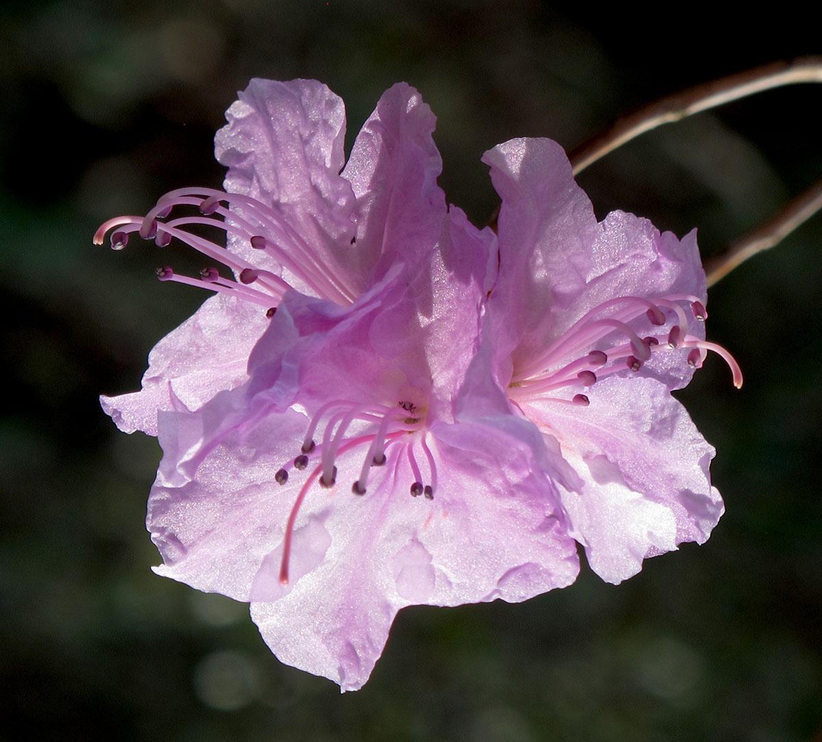 Rhododendron Azalea X Hybrid 1